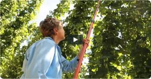 Woman harvesting hops.