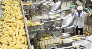 a man hosing down a lot of corn on the cob on a conveyor belt
