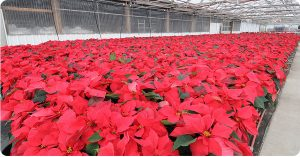rows of red flowers in a large, bright greenhouse