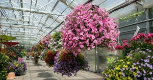 a collection of hanging flower baskets in a bright greenhouse
