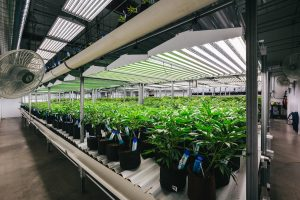 cannabis plants in a growing facility