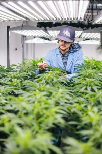 a man tending to cannabis plants in a growing facility
