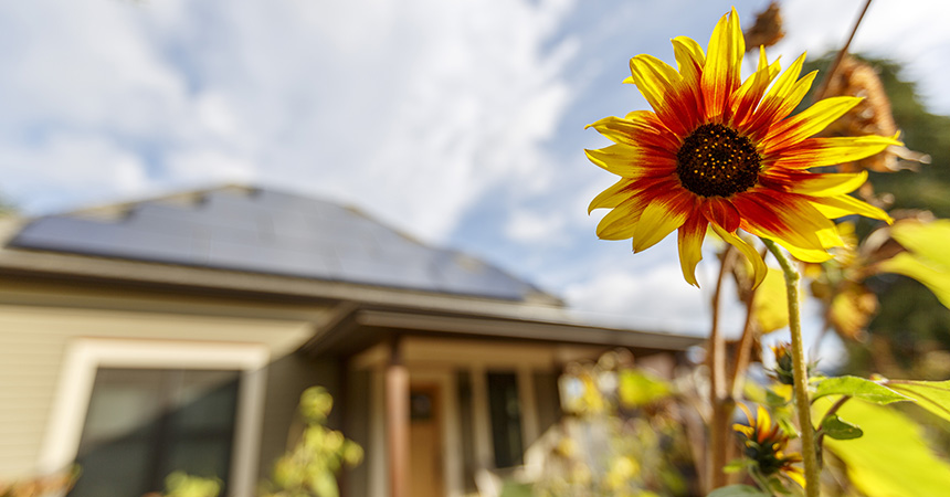 bright yellow flower in front of house with solar panels on the roof