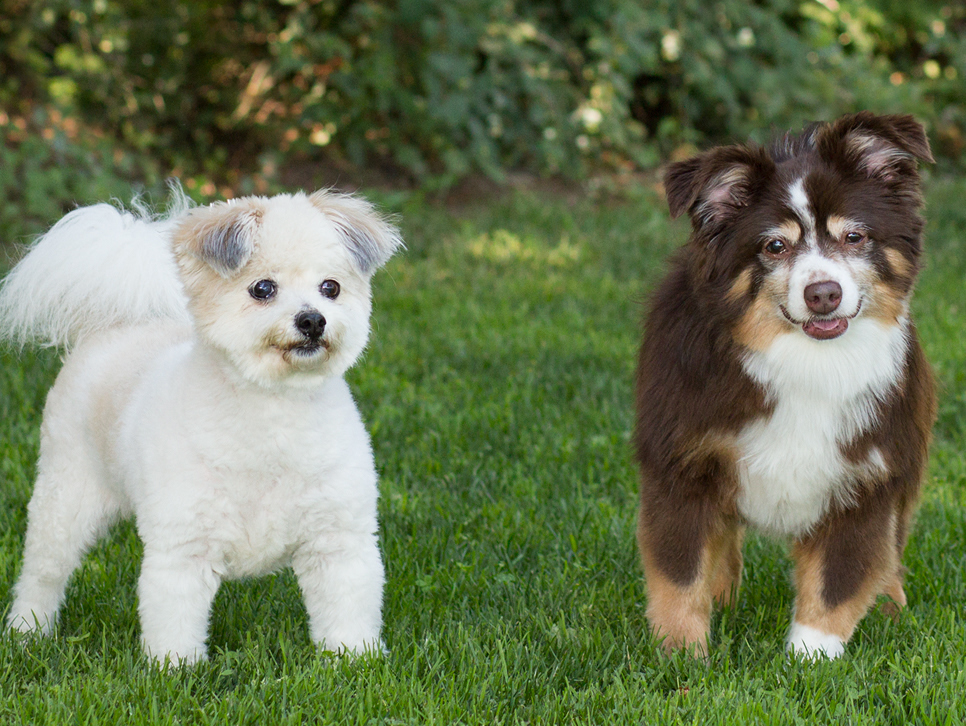 two small dogs playing outside on grass