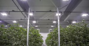 Cannabis plants mature in a flower room at Cloud Cover Cannabis in Portland, Oregon.