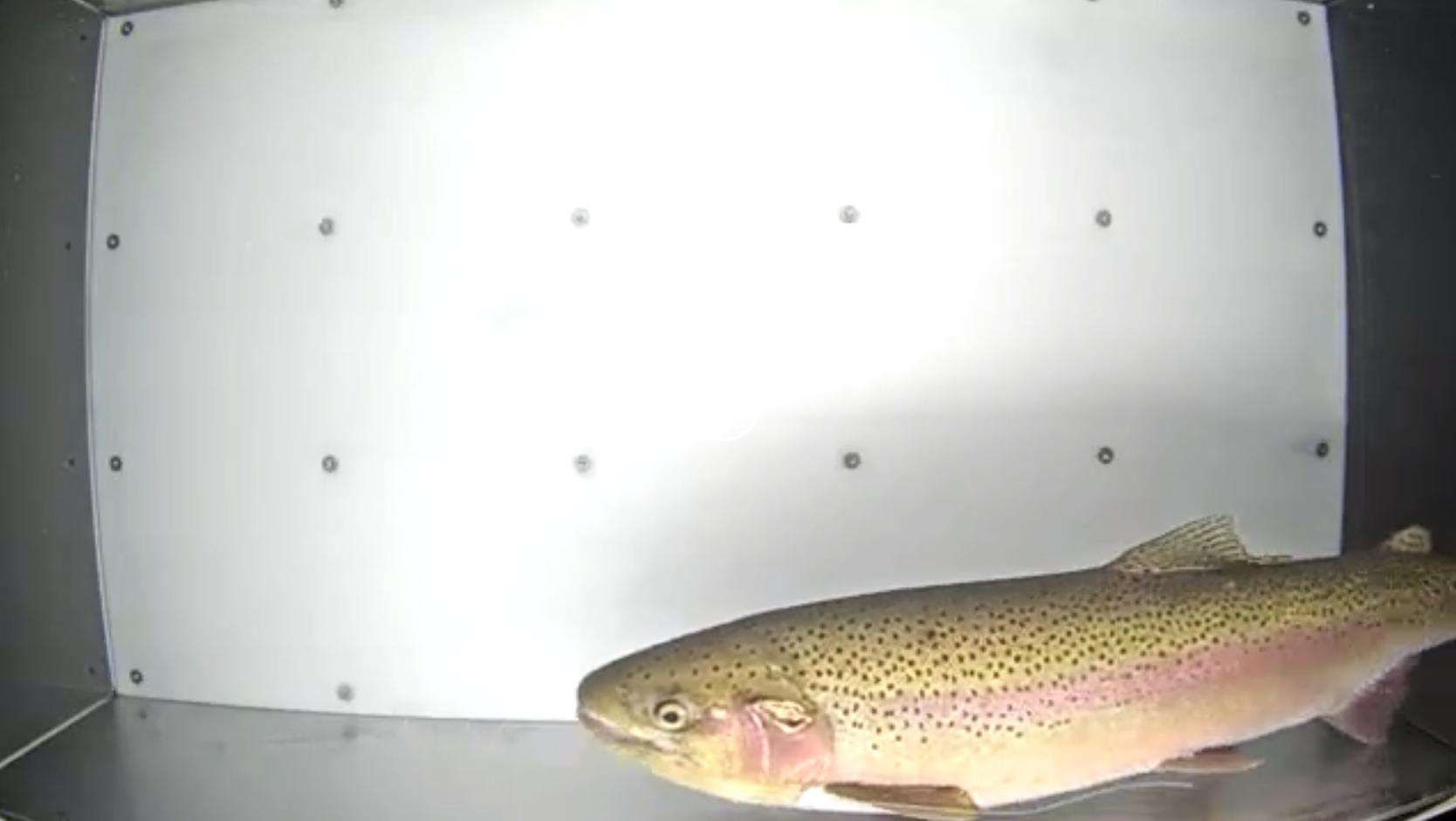 a salmon swimming