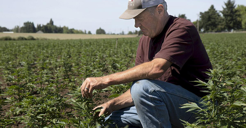 a farmer tending to his hemp crops