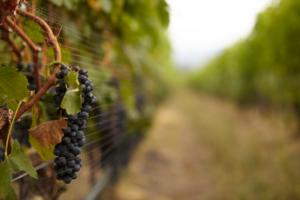 Cowhorn Vineyard