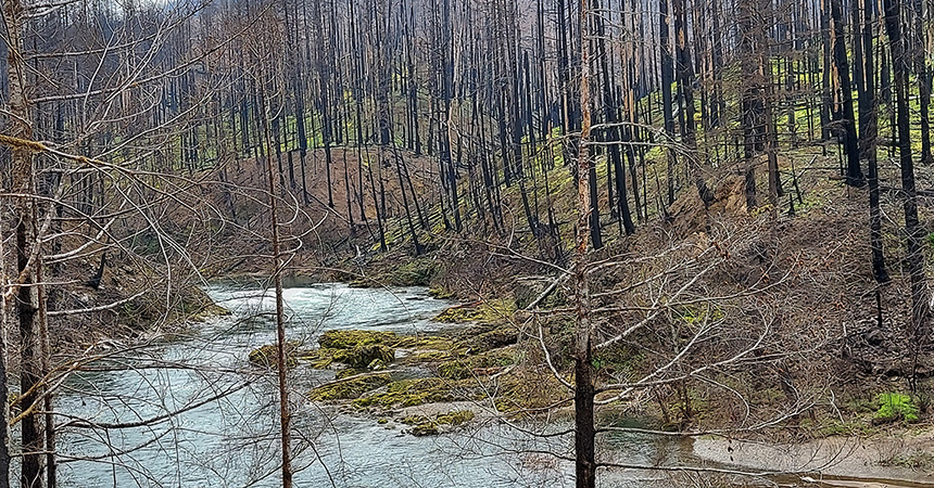 burned trees in forest